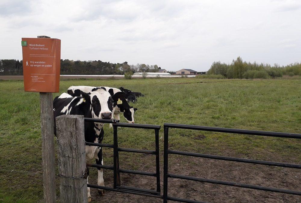 Wandelen tussen de koeien op Turfje 1